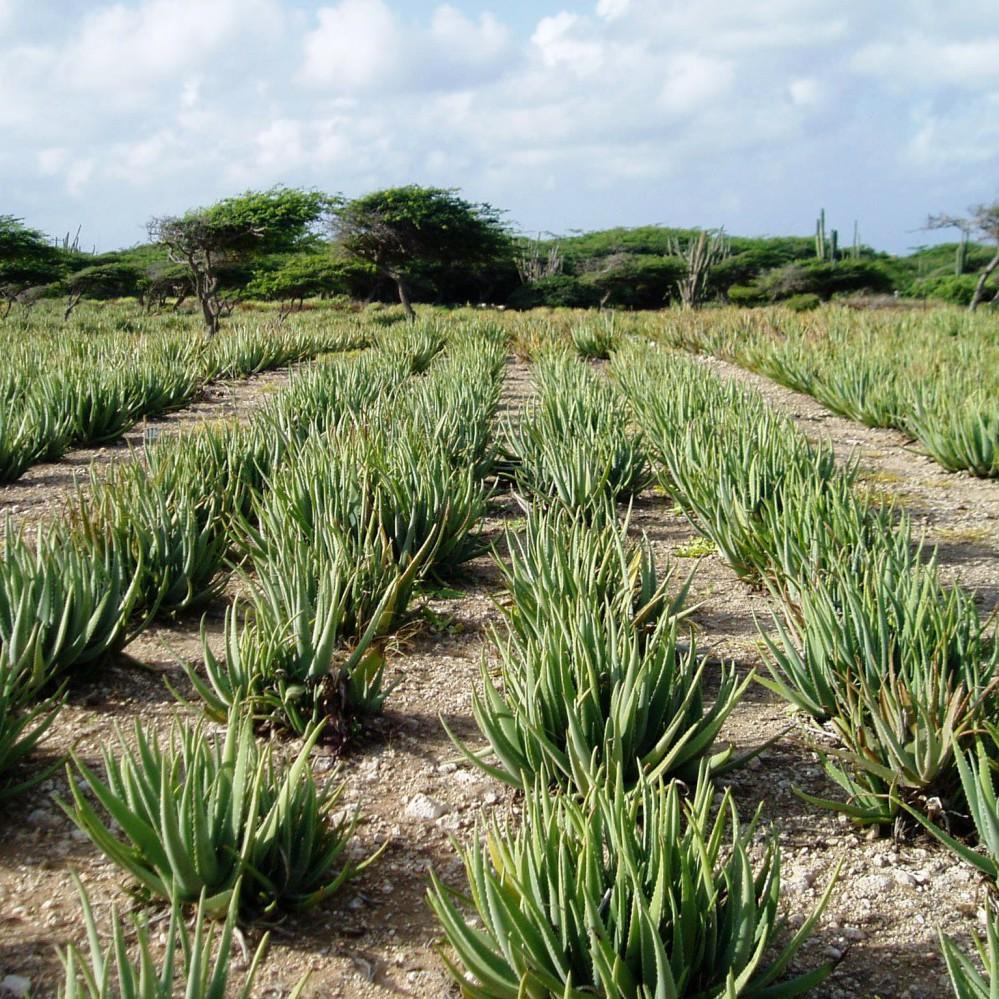 Alhydran Littekencreme Productie aloe vera veld